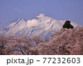 青森県弘前市 堀越城跡の桜と岩木山 77232603