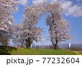 青森県弘前市 堀越城跡の桜と大鰐山地 77232604