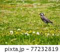 春の草むらを歩くムクドリ 77232819