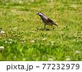 春の草むらで見得を切る(?)ムクドリ 77232979