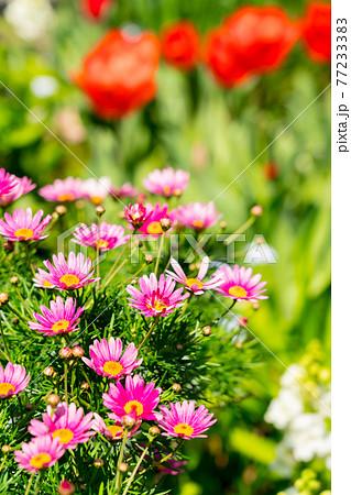 春の花壇 77233383