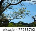 朝日を浴びた白いハナミズキ(春の神田公園 '21) 77233702