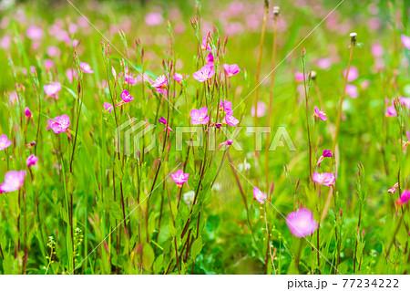 川の護岸斜面に咲き誇る春の野の花 77234222