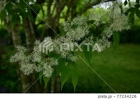 コバノトネリコの白い花 77234226
