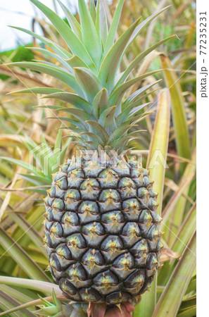 【ハワイ】パイナップル栽培 77235231