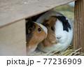 動物園のモルモットたち 77236909
