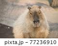 動物園のカピバラ 77236910