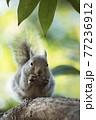 樹上のニホンリス 77236912