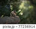動物園のニホンリス 77236914