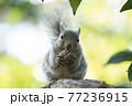 樹上のニホンリス 77236915