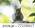 樹上のニホンリス 77236917