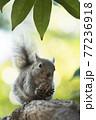 樹上のニホンリス 77236918