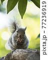 樹上のニホンリス 77236919