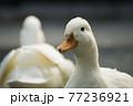 動物園のアヒルたち 77236921