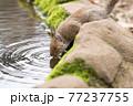 水を飲むニホンリス 77237755