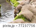 水を飲むニホンリス 77237756