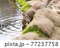 水を飲むニホンリス 77237758