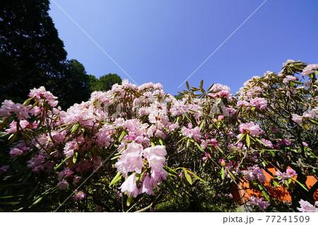 弁財天石楠花の丘 シャクナゲ満開 77241509