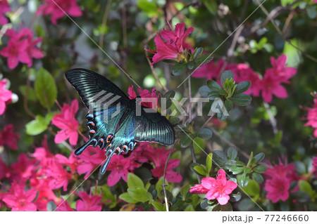ミヤマカラスアゲハ 春型の雄の吸蜜 77246660