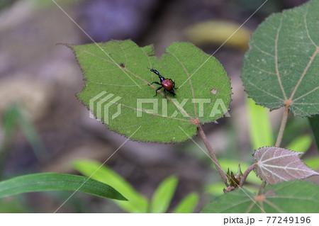 マダガスカルの首が長い赤色の昆虫 77249196