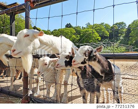 牧場のヤギ 子ヤギ 77251376
