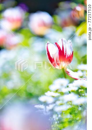 アカオハーブ&ローズガーデンの花 77257510