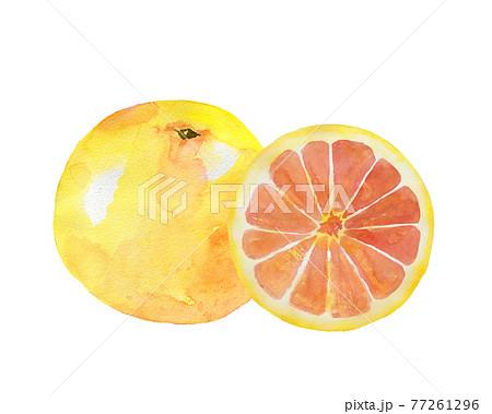 グレープフルーツの水彩画 77261296