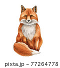 Fox animal watercolor illustration. Wild cute red fox sitting portrait. Wildlife furry animal with red fur and black paws. Front view forest animal. Adorable mammal element. On white background 77264778