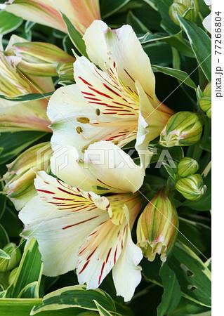 道端の花壇に咲くアルストロメリア 77266804