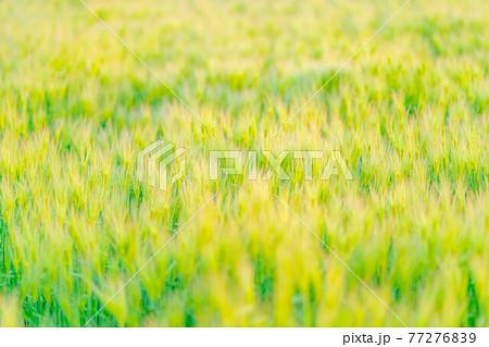 麦の穂 素材 【長野県】 77276839
