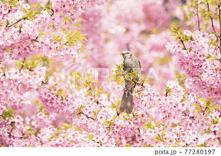 【春イメージ】桜とヒヨドリ 77280197