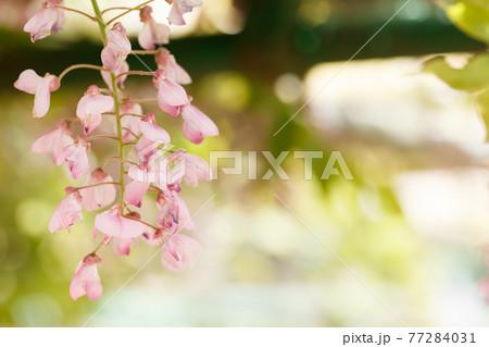 新緑の葉を背景に咲くピンクの藤の花 77284031