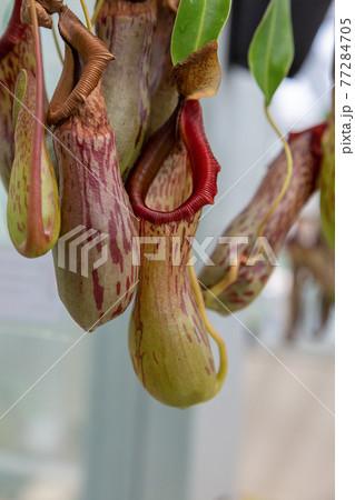 ウツボカズラ科ネペンテス・ミランダの補虫袋 77284705