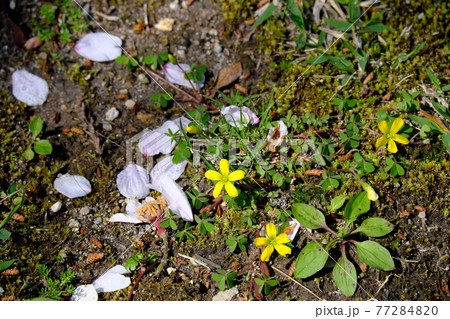 黄色の花と地面に落ちるピンク色の桜の花びら 77284820