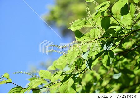 ズイナ(瑞菜)の総状花序と蕾 77288454