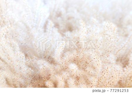 ススキの穂 種 クローズアップ 77291253