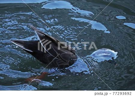 水中に顔を入れ逆立ちしてエサを探す1羽のカルガモ【連写⑥】 77293692