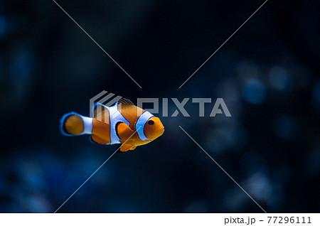 カクレクマノミ 海洋生物 77296111