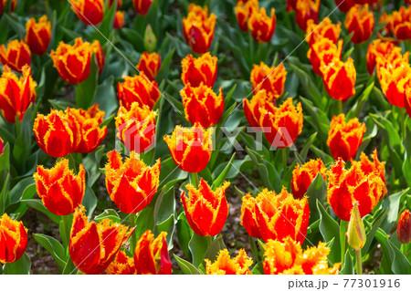 一面に広がるオレンジのチューリップ 春イメージ 77301916