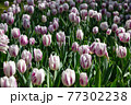 一面に広がる白いチューリップ 春イメージ 77302238