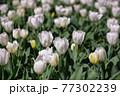 一面に広がる白いチューリップ 春イメージ 77302239