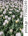 一面に広がる白いチューリップ 春イメージ 77302240