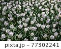 一面に広がる白いチューリップ 春イメージ 77302241