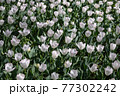 一面に広がる白いチューリップ 春イメージ 77302242