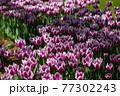 一面に広がる白いチューリップ 春イメージ 77302243