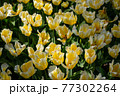 一面に広がる黄色いチューリップ 春イメージ 77302264