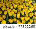 一面に広がる黄色いチューリップ 春イメージ 77302265