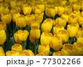 一面に広がる黄色いチューリップ 春イメージ 77302266