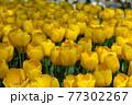 一面に広がる黄色いチューリップ 春イメージ 77302267