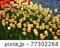 一面に広がる黄色いチューリップ 春イメージ 77302268